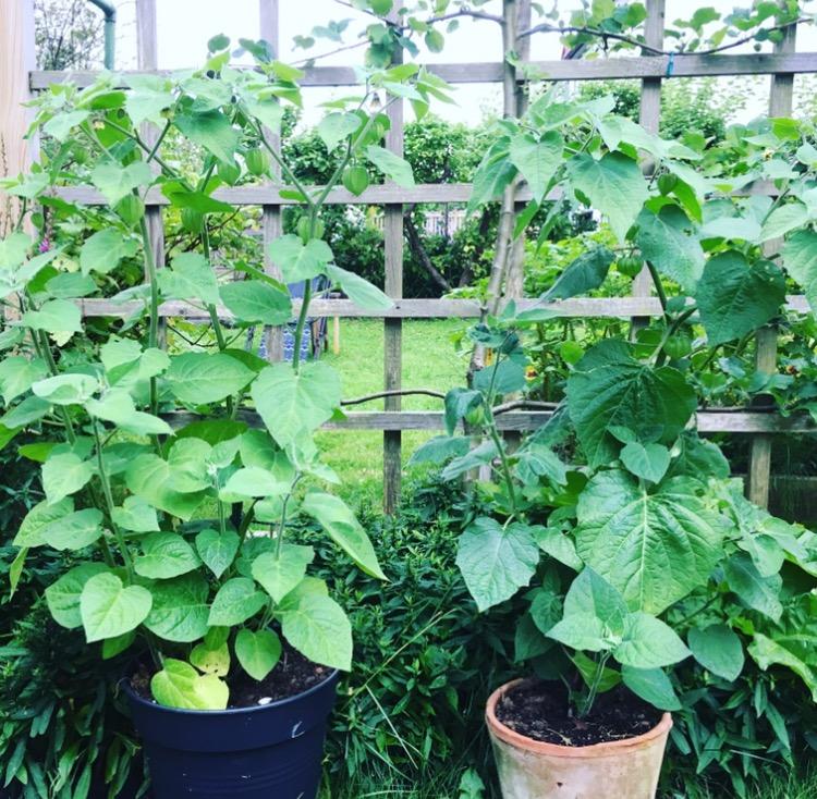 Övervintra physalis för kraftigare plantor och fler bär