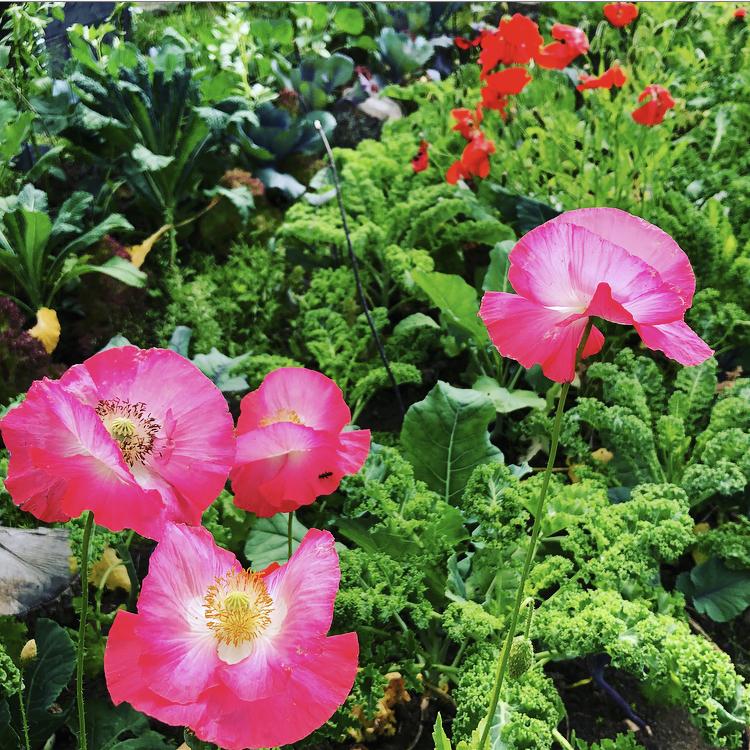 Samplantera blommor och grönsaker för en vacker köksträdgård