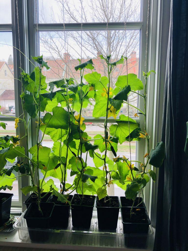 Odla fönstergurka inne på vintern